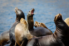 Bunch of barking sea lions fill the air with song Stock Image