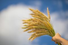 Bunch of barley in his hands against the blue sky royalty free stock image