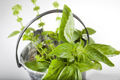 Bunch of basil in a bucket for water Stock Photo
