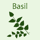 Bunch of basil at the light green background. Hand drawn word Basil Stock Images