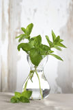 Bunch of Basil in vase with water to keep it fresh for later use Stock Photos