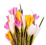Bunch of beautiful brightly colored Crocus flowers Royalty Free Stock Images