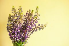 Bunch of beautiful lupine purple flowers against yellow background royalty free stock image