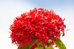 Bunch of Beautiful Red Ixora flowers, Indian Jasmine. scientific Stock Photo