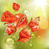 Bunch of Beautiful Red Poppy with Lights. Royalty Free Stock Photos