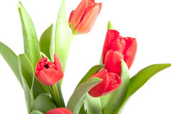 A bunch of beautiful red tulips Stock Photo
