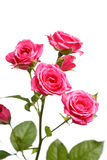 Bunch of beautiful roses Royalty Free Stock Image