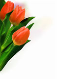 Bunch of beautiful tulips. Royalty Free Stock Photo