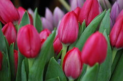 A bunch of beautiful tulips Stock Photo