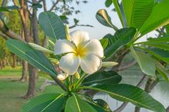 A bunch of beautiful white and yellow petals Plumeria blooming on green leaves, beside the lake in a park royalty free stock images