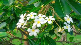 A bunch of beautiful white and yellow petals Plumeria blooming on green leaves in a park, know as Temple tree stock photography