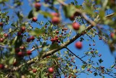Bunch of berries on branch on sunny day royalty free stock image
