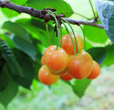 Bunch of berries cherries with leaves Stock Images