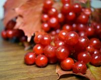 Bunch of berries guelder on a wooden surface in autumn stock images