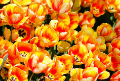 Bunch of bi-colored tulips. Yellow and orange combination Royalty Free Stock Photos