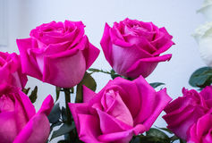 Bunch of big pink rose Stock Images