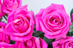Bunch of big pink rose Royalty Free Stock Photos