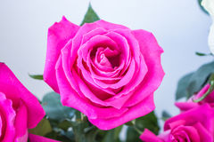 Bunch of big pink rose Stock Photo