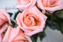 Bunch of big pink tea rose Royalty Free Stock Image