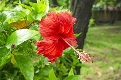 Bunch of big red petals of Hawaiian hibiscus blossom cover around long stamen and pistil, known as Shoe flower, Chinese rose royalty free stock image