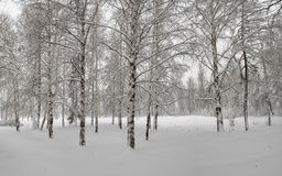 A bunch of birches in the snow. Snowy Forest. A bunch of birches in the snow. Khakassia. Siberia. March 31, 2018 Stock Photo