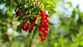 Bunch of bird cherry Stock Photo