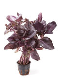 Bunch of black basil Stock Image
