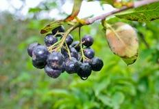 Bunch of black chokeberry fruit Royalty Free Stock Photo