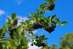 Bunch of black chokeberry Royalty Free Stock Photo