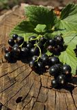 Bunch of black currant Royalty Free Stock Image