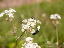 A bunch of black flies resting on some cow parsley Stock Photography