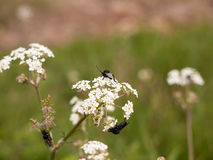 A bunch of black flies three resting on some cow parsley Stock Image