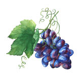 Bunch of black fresh grapes. Hand drawn watercolor painting on white background Royalty Free Stock Photo