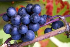 Bunch of black grape growing on a vine Royalty Free Stock Images
