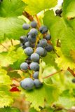 Bunch of black grapes. Stock Image