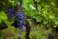 Bunch of black grapes in green leaves Stock Photo
