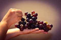 Bunch of black grapes in hand Stock Images