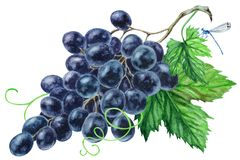 Bunch of black grapes with leaves, hand drawn watercolor