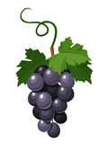 Bunch of black grapes. Vector illustration. Stock Photos