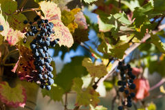 Bunch of black grapes on the vine Royalty Free Stock Image