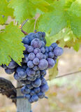 Bunch of black grapes Royalty Free Stock Image