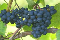 Bunch of black grapes on a vine Stock Photography