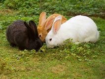 Bunch of black, white and red rabbits eating grass Royalty Free Stock Images