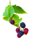 Bunch of blackberries. blackberry with leaf isolated on a white. Background closeup Stock Photo