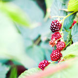 Bunch of blackberries,. Close up Royalty Free Stock Photography
