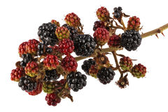 Bunch of blackberries on a plain white background Royalty Free Stock Images