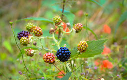 Bunch of blackberries. Ripe and unripe blackberries on the bush with selective focus. Bunch of blackberries. Berry background stock photography
