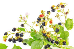 Bunch of blackberry branches. With ripe blackberries isolated on white Stock Photo