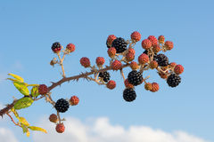 Bunch of blackberry branches Royalty Free Stock Images