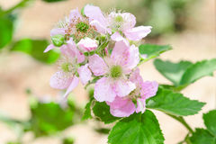 Bunch of blackberry or raspberry spring blossom Royalty Free Stock Photography